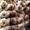 чеснок сорт софиевский озимый синий  #740914