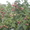 Саженцы малины сорта Херитейдж #1055836