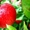 Польское яблоко от производителя оптом и в розницу. #1359793