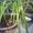 Продаю лечебное растение-индийский лук #1528414