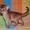 Шикарные абиссинские малыши из питомника  #788386