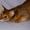 Приходите к нам за абиссинскими котятами  #1665095