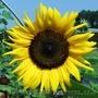 семена подсолнечника F1 от оригинатора