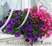 Сурфиния,  петуния,  бегония,  цветы для клумб 096 221-57-77