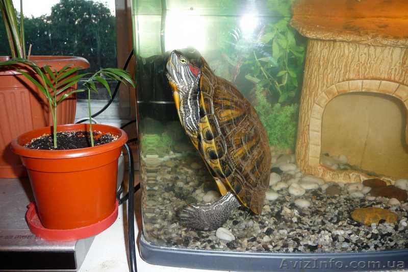 Как ухаживать за черепашкой красноухой черепашкой в домашних условиях