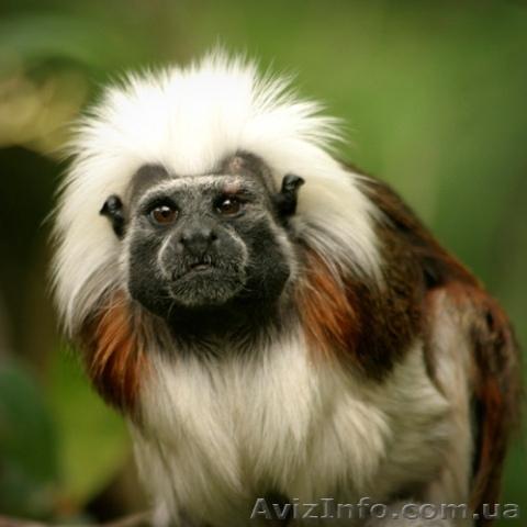 Ручные обезьяны, Объявление #71631