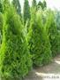 Дешевые декоративные растения! Туя,  самшит,  кипарисовик,  можжевельник....