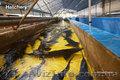 икра осетровой рыбы - Изображение #5, Объявление #128468