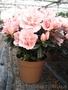 Цветы,  подарок на 8 марта,  примула,  бегония,  азалия,  оптом