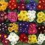 Примула,  примула оптом,  примула уход,   примула цветок,  8 марта,  цветы Киев