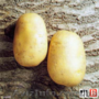 Семенной картофель. Сорт Агаве,  Ривъера