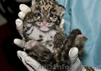 Экзотические ручные котята львят, пум, ягуаров, леопардов, Объявление #440843