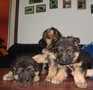 Немецкая овчарка. Высоко-породные щенки.