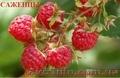 Продам Саженцы малины,  смородины,  яблоки,  клубники