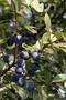 Живые изгороди.Саженцы сосны,берёзы,дуба,клена,липы,ясеня, граба,барбариса,тёрна - Изображение #5, Объявление #604064