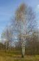 Живые изгороди.Саженцы сосны,берёзы,дуба,клена,липы,ясеня, граба,барбариса,тёрна - Изображение #6, Объявление #604064