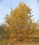 Живые изгороди.Саженцы сосны,берёзы,дуба,клена,липы,ясеня, граба,барбариса,тёрна - Изображение #7, Объявление #604064
