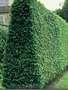 Живые изгороди.Саженцы сосны, берёзы, дуба, клена, липы, ясеня,  граба, барбариса, тёрна