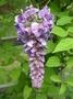 Глициния (wisteria floribunda),  саженцы.