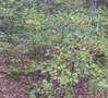 саженцы граба,клена,липы,черёмухи,рябины,барбариса,боярышника,тёрна,ели,сосны - Изображение #4, Объявление #629892