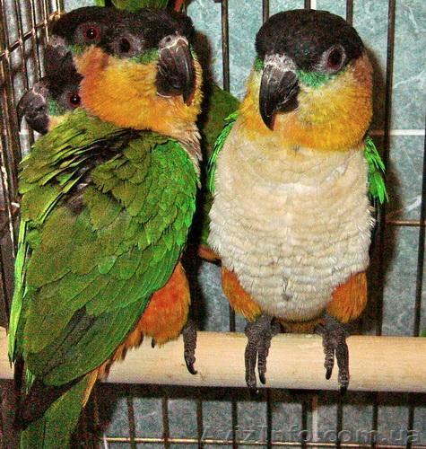Черношапочный каик или Белобрюхий черношапочный попугай, Объявление #803171