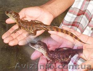 Продаются ручные крокодильчики - кайманы, Объявление #803238