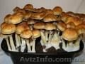 Споры грибов Psilocybe Cubensis
