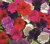 Семена цветов Syngenta