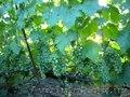 продам - саженцы винограда