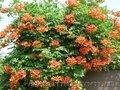 Кампсис,  вьющееся с широкими листьями и большими красными соцветиями