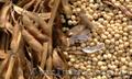 продам семена сои,  ранний сорт