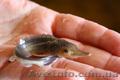 Рыбная продукция осетровых (оплодотворенная икра,  личинка,  малек)
