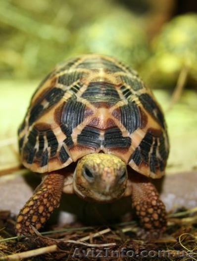 Продам ручных звездчатых черепах размером 10-11 см по панцирю, Объявление #1067517