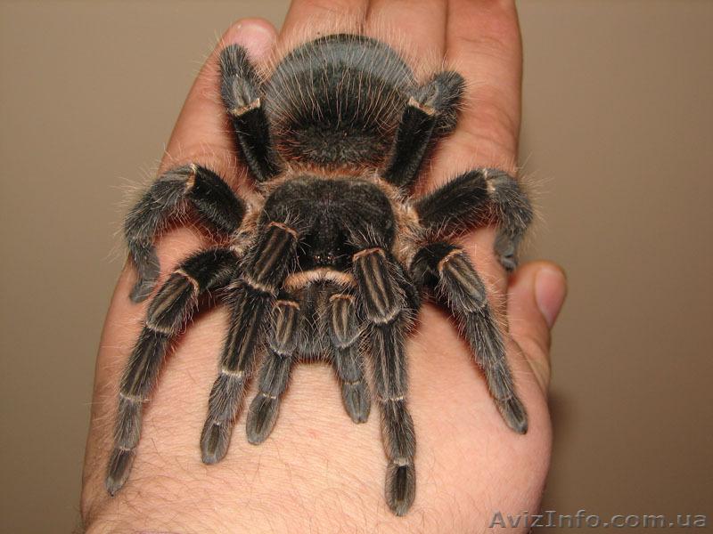 Продам паука птицееда Lasiodora parahybana один из самых крупных видов, Объявление #1067521