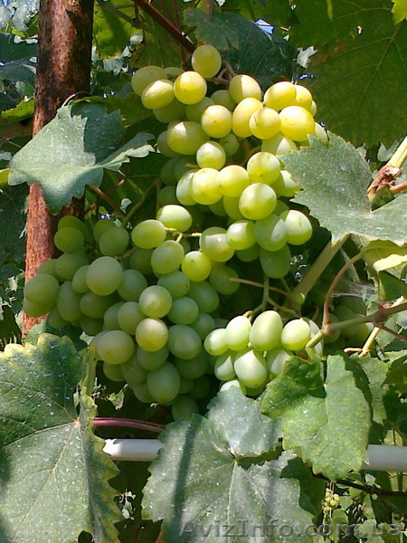 Продам САЖЕНЦЫ виноград., Объявление #1074861