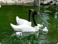 Черный и Черношейный лебедь,  продам лебедей