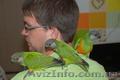Ручной попугай для разговора Сенегал и Аратинга, продажа - Изображение #2, Объявление #1067531