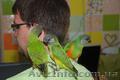 Ручной попугай для разговора Сенегал и Аратинга, продажа - Изображение #3, Объявление #1067531