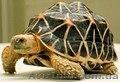 Продам ручных звездчатых черепах размером 10-11 см по панцирю - Изображение #3, Объявление #1067517