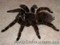 Продам паука птицееда - Лошадиный паук (Lasiodora parahybana)