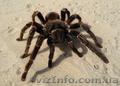 Продам паука птицееда Lasiodora parahybana один из самых крупных видов - Изображение #2, Объявление #1067521