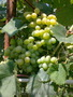 Продам САЖЕНЦЫ виноград. - Изображение #1, Объявление #1074861