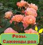 Розы. Саженцы роз