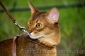 Абиссинский кот для вязок