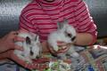 Карликовые декоративные кролики - мини , и мини баранчики полностью ручные - Изображение #3, Объявление #1117340