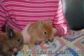 Карликовые декоративные кролики - мини , и мини баранчики полностью ручные - Изображение #4, Объявление #1117340