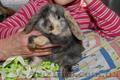 Карликовые декоративные кролики - мини ,  и мини баранчики полностью ручные