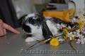 Карликовые декоративные кролики - мини , и мини баранчики полностью ручные - Изображение #2, Объявление #1117340