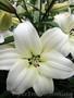 Луковицы лилии почтой