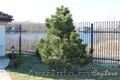 Посадка деревьев (крупномеров) - Изображение #3, Объявление #420598